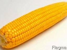 """Семена кукурудзы """"Аробаз"""" ФАО 250"""