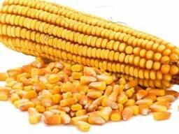 Семена кукурузы Білозірський 295 СВ от производителя