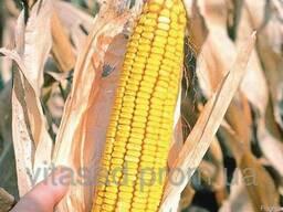 Семена кукурузы Білозірський 295СВ цена 15грн/кг.