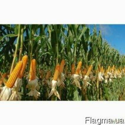 Семена Кукурузы, Борозенский, Кадр