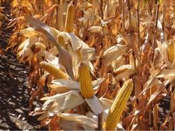 Семена кукурузы ДБ Хотин ФАО 250