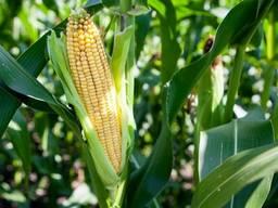 Семена кукурузы ДН Хортица (ФАО 240)