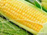 Семена кукурузы - фото 1