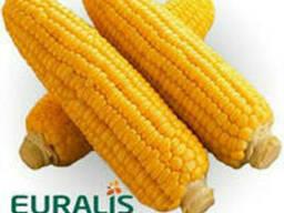 Семена кукурузы Евралис ЕС Москито Фао 350