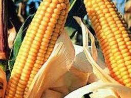 Семена кукурузы Галатея, Аджамка, Хотин, Моника Даниил и др.