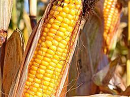 Семена кукурузы Гран 6 (2020г)