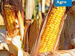 Семена кукурузы Гран 6 (2020)