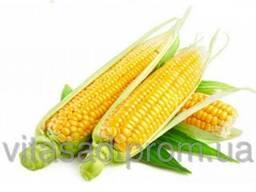 Семена кукурузы Кремень 200 МВ F1 цена 15грн/кг.