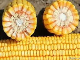 Семена кукурузы Квинсет (Seed grain company)