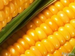 Семена кукурузы КВС