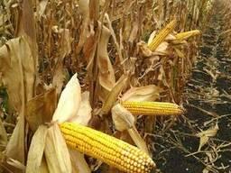 Семена кукурузы МонБлан фао280(франция)