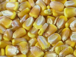 Семена кукурузы Галатея (ФАО 260)