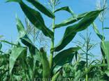 Семена кукурузы Монсанто ДКС-315 ФАО 310 (производитель Mons - фото 1