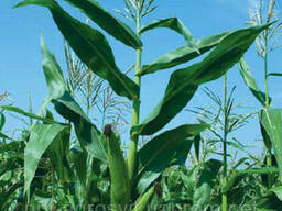 Семена кукурузы Монсанто ДКС-315 ФАО 310 (производитель Mons
