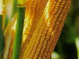 Семена кукурузы Оржица (2017г)