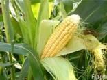 Семена кукурузы Оржица 237 МВ. - фото 1