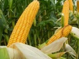 Семена кукурузы Оржица 237 МВ (ФАО – 240)