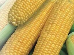 Оржиця 237 семена кукурузы