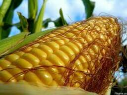 Семена кукурузы Оржица,Дніпровська 257 СВ Подільський 274 СВ