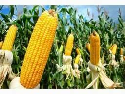 Семена кукурузы Оржица, Пивиха, Любава, Солонянский, Моника,
