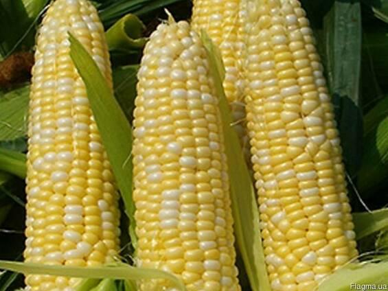 Семена Кукурузы,Ожрица 237МВ, Яровец 243 МВ, (договорая)