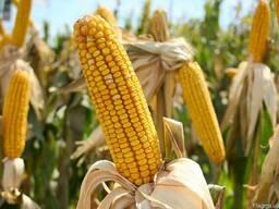 Семена кукурузы Подильский 274СВ
