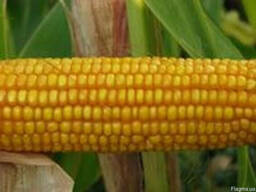 Семена кукурузы ПР35Ф38