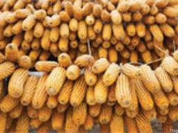 Семена кукурузы Сиско