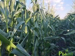 Семена кукурузы Свитязь