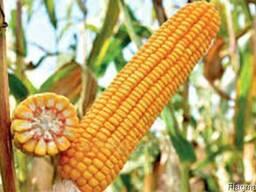 Семена кукурузы Украинской и зарубежной селекций