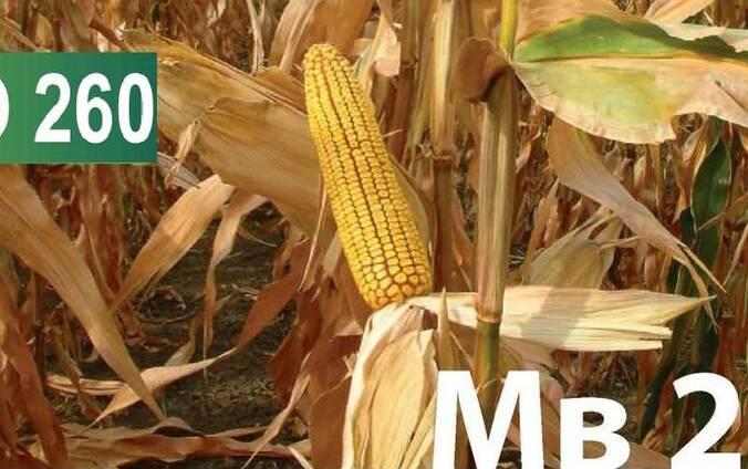 Семена кукурузы Венгерской селекции МВ 255 (ФАО 260)