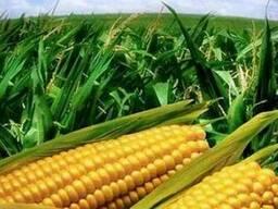 Семена кукурузы Яровец 243 МВ ФАО 240