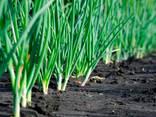 Семена Лук Батун - фото 1