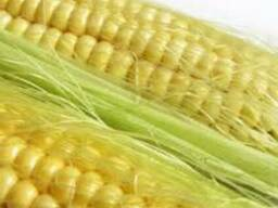 Семена Монсанто Кукуруза DK 315