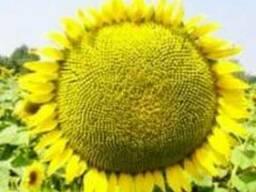 Семена олеинового подсолнечника Тоскана КС (A-F) (Франция)