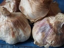 Семена озимого чеснока в наличии большой выбор сортов