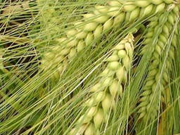 Продам насіння озимого ячменю - Дяв'ятий вал