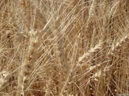 """Семена озимой пшеницы """"Антоновка"""""""