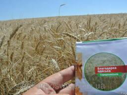Семена озимой пшеницы Благодарка Одесская от производителя
