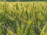 Семена озимой пшеницы Благодарка Одесская Элита