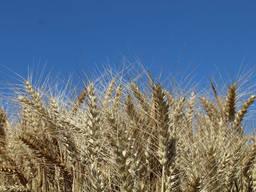 Семена озимой пшеницы Гаудио 1 реп. ур.2020 , Австрия