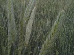Семена озимой пшеницы Канадский трансгенный сорт мягкой FARR