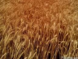 Семена озимой пшеницы Кантата Одесская, R2