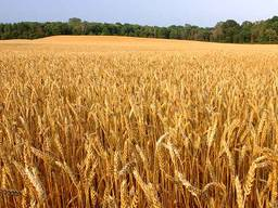 Семена озимой пшеницы Мудрость Одесская, 76-115 ц/га