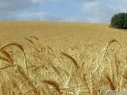 Семена озимой пшеницы Роскишна