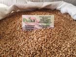 Семена озимой пшеницы Ротакс - фото 2