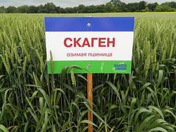 Семена озимой пшеницы Скаген 1 оепродукция Заатен Юнион