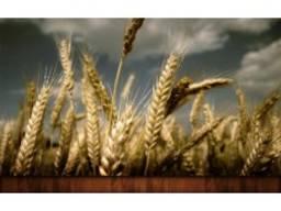 Семена озимой пшеницы сорт Чорнява, 1 репр. , элита