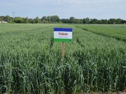 Семена озимой пшеницы Тобак 1 репродукция Заатен юнион