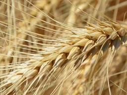 Семена озимой пшеницы Тури